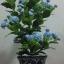 J005-ต้นดอกมะลิ ความสูงรวมกระถาง 18 นิ้ว thumbnail 7