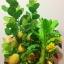 C009-สวนต้นไม้มงคล มะยม ส้ม ขนุน กล้วย_ไซร์ 12-16 นิ้ว thumbnail 3