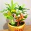 C004-สวนต้นไม้มงคล ไซร์ 3 นิ้ว กล้วย มะยม ส้ม thumbnail 5