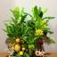 C015-สวนต้นไม้มงคล มะยม ส้ม กล้วย ขนุน 3-12 นิ้ว thumbnail 6