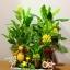 C015-สวนต้นไม้มงคล มะยม ส้ม กล้วย ขนุน 3-12 นิ้ว thumbnail 7