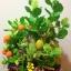C009-สวนต้นไม้มงคล มะยม ส้ม ขนุน กล้วย_ไซร์ 12-16 นิ้ว thumbnail 10