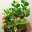 C009-สวนต้นไม้มงคล มะยม ส้ม ขนุน กล้วย_ไซร์ 12-16 นิ้ว thumbnail 2