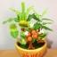 C004-สวนต้นไม้มงคล ไซร์ 3 นิ้ว กล้วย มะยม ส้ม thumbnail 4