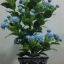 J005-ต้นดอกมะลิ ความสูงรวมกระถาง 18 นิ้ว thumbnail 6