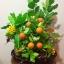 C009-สวนต้นไม้มงคล มะยม ส้ม ขนุน กล้วย_ไซร์ 12-16 นิ้ว thumbnail 8