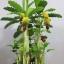 B010-ต้นกล้วย 1 เมตร thumbnail 11