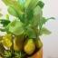 C007-สวนต้นไม้มงคล มะยม ส้ม กล้วย ขนุน_ไซร์ 3-6 นิ้ว thumbnail 5