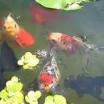 อ่างบัว บ่อปลา เสริมฮวงจุ้ยให้บ้านร่มเย็น เสริมดวงกับวิธีการสร้างโชคลาภ