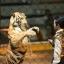 """สวนเสือศรีราชา """"TIGER ZOO"""" thumbnail 3"""