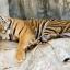 """สวนเสือศรีราชา """"TIGER ZOO"""" thumbnail 4"""