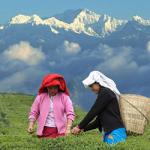 ชาดาร์จีลิง (Darjeeling Tea)